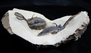 Show And Tell - Double Walliserops Trilobite Plate