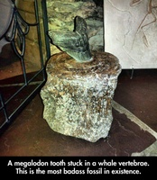 "About that ""Badass Megalodon Tooth"" in a Whale Vertebra"