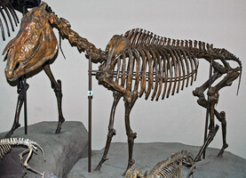Idaho State Fossil - Hagerman Horse (Equus simplicidens)