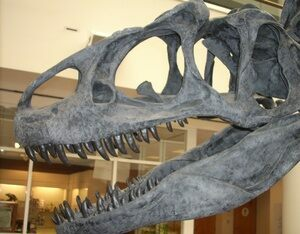 A reconstructed Allosaurus skull showing tooth placement.