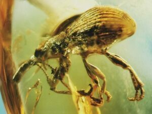 A weevil trapped in Baltic amber is an example of unaltered preservation.