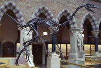 Struthiomimus sedens skeleton in the Oxford University Museum of Natural History