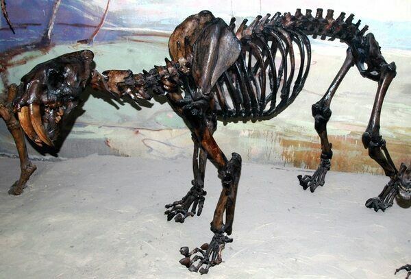 Skeleton of Smilodon (Smilodon californicus) from the La Brea Tar Pits in Los Angeles. Photo by James St. John  Creative Commons License