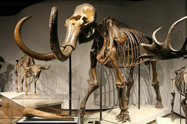 Mounted woolly mammoth skeleton on display at the Field Museum of Natural History.