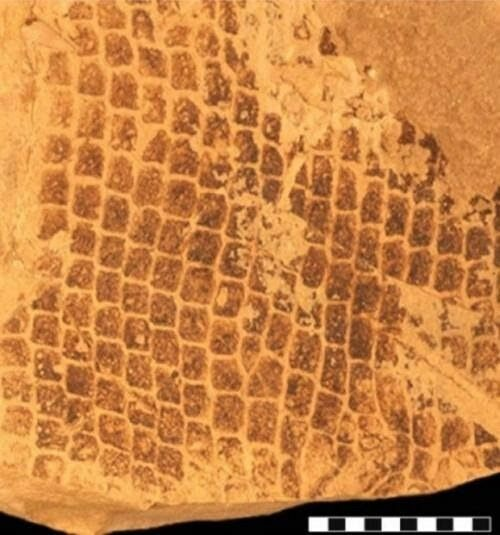 Fossil scales of the mosasaur specimen: SMU 76532 where the melanosomes were found. They indicate the mosasaur had a dark coloration, like a sperm whale. Image by Johan Lindgren (Lindgren et al., 2014).