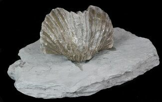Bulk: Fossil Brachiopods From Kentucky - Single Specimen