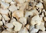 Bulk Fossil Squalicorax (Crow Shark) Teeth - 5 Pack - Photo 2