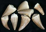 "Wholesale: 1"" Fossil Mosasaur Tooth (Packaged) - 10 Pieces - Photo 2"