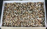 Wholesale Lot: Small Fossil Mosasaur Teeth - 1,000 Pieces - Photo 2