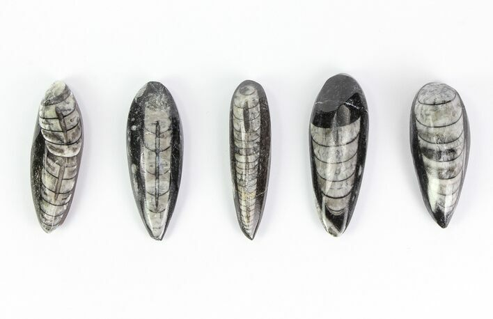 "1 1/2 - 2"" Polished Orthoceras Fossils - Morocco - Photo 1"