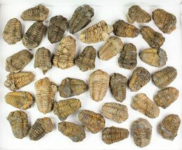"1 1/2 to 2 1/2"" Calymene Trilobite Fossils - 25 Pieces"