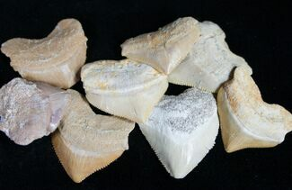 Cretaceous, Fossil Crow Shark (Squalicorax) Teeth