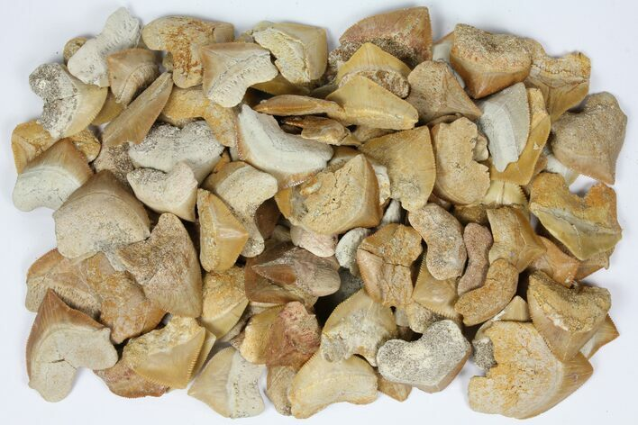 Wholesale Lot: Fossil Crow Shark (Squalicorax) Teeth - 100 Pieces - Photo 1