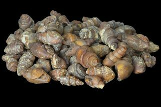 Wholesale: Agatized Fossil Gastropods - 100 Pieces