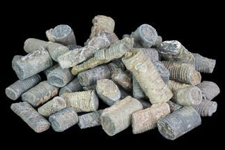Bulk Devonian Crinoid Stems - 3oz (~50 pieces)