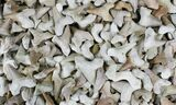 Bulk Fossil Otodus Shark Teeth - 10 Pack - Photo 2