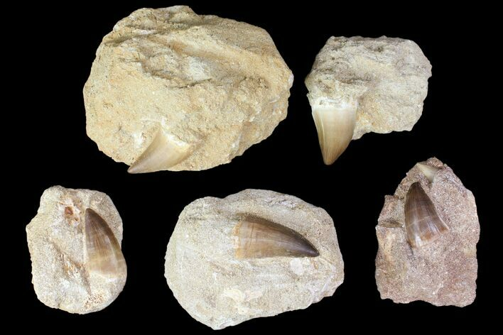"Wholesale Box: 1-2"" Fossil Mosasaur Teeth In Rock - 50 Pieces - Photo 1"
