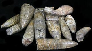 Bulk Polished Fossil Horn Coral - 3 Pack