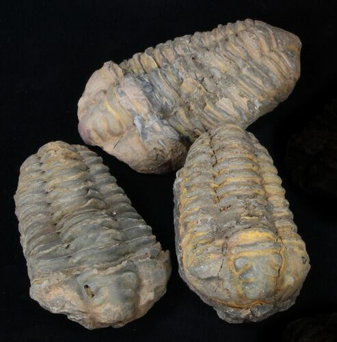 Bulk Large Calymene Trilobite Fossils - 3 Pack - Photo 1