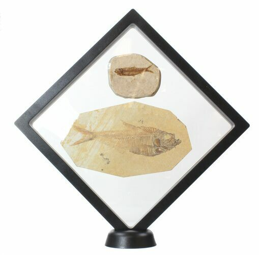 "7.1"" (XL) Floating Frame Display Case With Stands - Black - Photo 1"