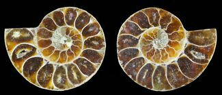 "1.25 to 1.5"" Cut, Agatized Ammonite Fossils - 1 Pair"
