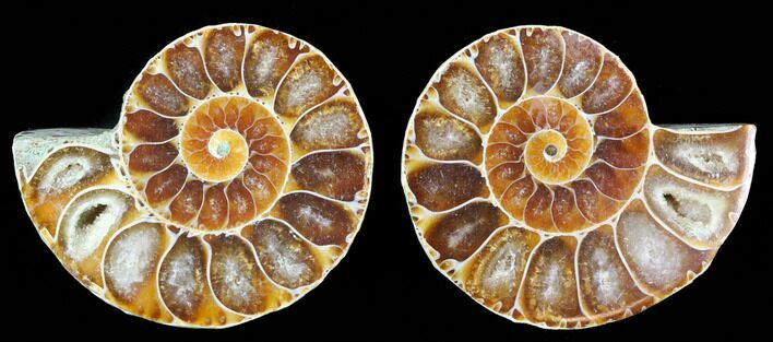"1.25 to 1.5"" Cut, Agatized Ammonite Fossils - 1 Pair  - Photo 1"