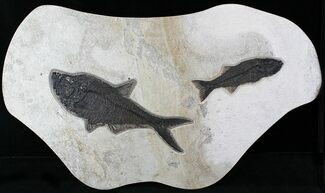 "Buy 40"" Wide Mioplosus & Diplomystus Fish Plate - Wall Mount - #22843"