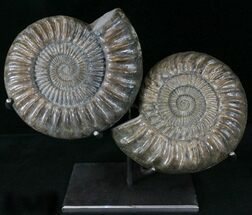"12"" Paracoroniceras Ammonite Pair On Metal Stand For Sale, #22844"