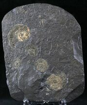 "Buy 1.2"" Dactylioceras Ammonite Cluster - Posidonia Shale - #23167"