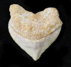 Nice Squalicorax (Crow Shark) Fossil Tooth For Sale, #23480