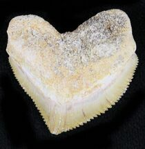 Nice Squalicorax (Crow Shark) Fossil Tooth For Sale, #23507