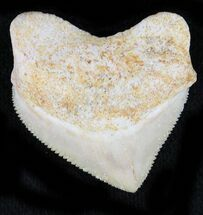 Buy Nice Squalicorax (Crow Shark) Fossil Tooth - #23512