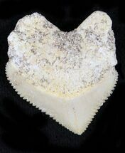 Nice Squalicorax (Crow Shark) Fossil Tooth For Sale, #23516