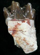 Buy Oligocene Horse (Mesohippus) Jaw Section - #25069