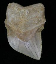 "Buy 1.14"" Squalicorax Kaupi (Crow Shark) Tooth - #29209"