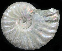 "Buy 1.5"" Silver Iridescent Ammonite - Madagascar - #29863"