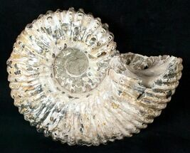 "Buy 6.2"" Bumpy Douvilleiceras Ammonite Fossil - #16921"