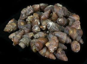 Bulk Agatized Fossil Gastropods - 25 Pack For Sale, #30806