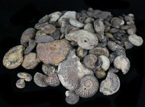 Bulk Small Pyritized Ammonites - 3oz (~20-30 pieces) For Sale, #30902