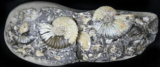 "8.6"" Wide Iridescent Ammonite (Deschaesites) Cluster - Russia For Sale, #31373"