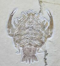 Eryon arctiformis (Decapod Crustacean) - Fossils For Sale - #31386