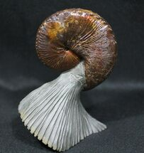 Buy World Class, Red Iridescent Hoploscaphities Ammonite - #31408