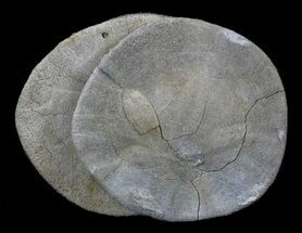 "2.6"" Fossil Sand Dollar (Dendraster) Cluster - California For Sale, #34355"