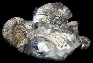 "7.2"" Cretaceous Ammonite (Simbirskites) Cluster - (Reduced Price) For Sale, #34682"
