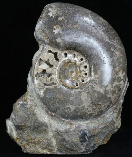 "4.6"" Polished Shloenbacchia Ammonite With Stone Base"