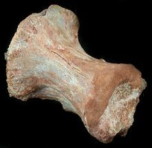 "Buy 2.7"" Theropod Dinosaur Vertebrae - Kem Kem Beds - #36112"