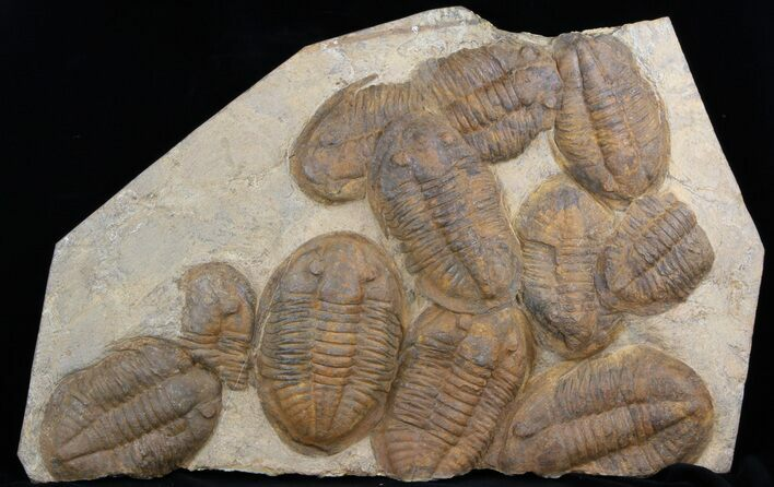 "20"" Plate Of Large Asaphid Trilobites - Spectacular Display"