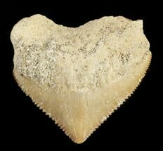 Nice Squalicorax (Crow Shark) Fossil Tooth For Sale, #38420