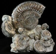 "Buy 9.2"" Biocoenosis & Speetoniceras Ammonite Association - #38827"