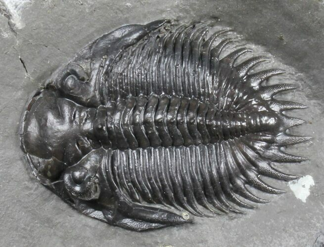 "Rare, 1.7"" Bellacartwrightia Trilobite - New York"